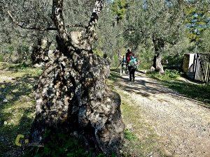 Olivos milenarios en Mallorca