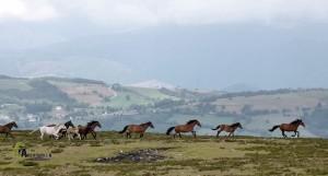 caballos Asturcones