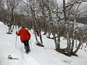 Bosque de abedul en Laciana