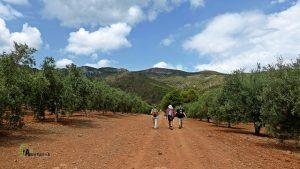campo de olivos en la Calderona